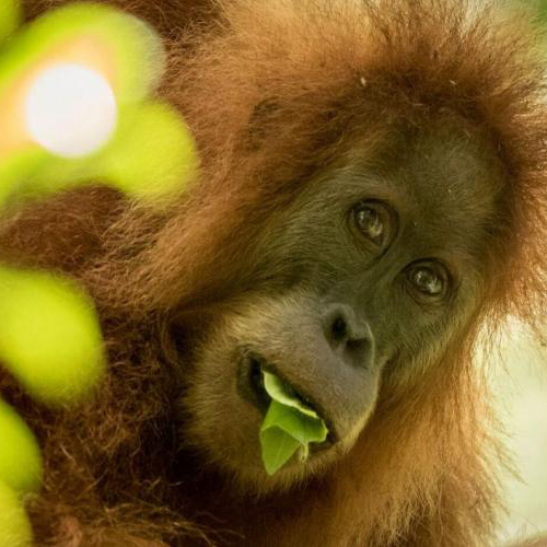 New Species of Orangutan Is Rarest Great Ape on Earth
